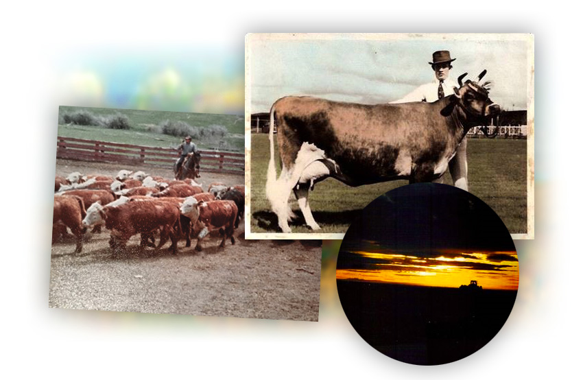 Cattle and Sunset Montage